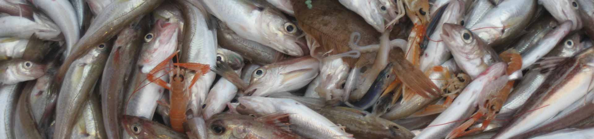 A mixed trawl catch in the Irish Sea with white fish, flatfish, crustaceans and cephalopods