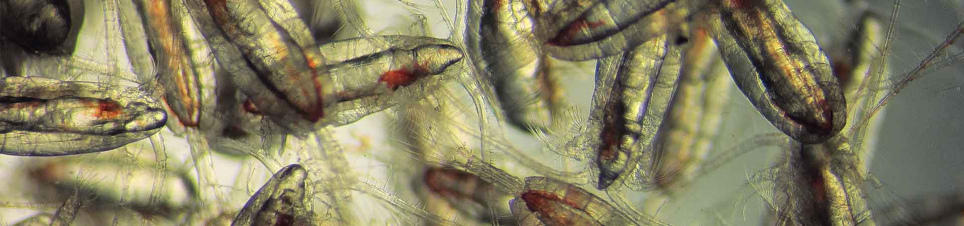 Microscope photo of several calanoid copepods (animal plankton) from the Arctic