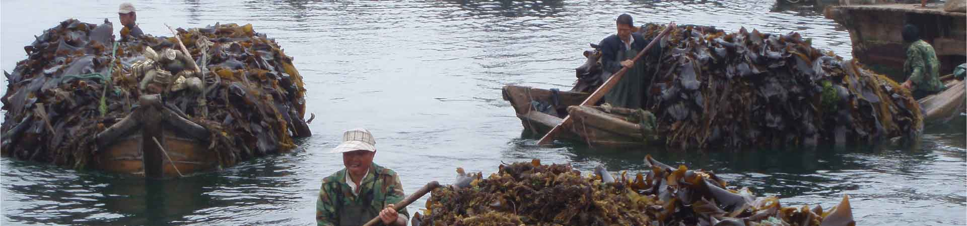 Seaweed collection from farms in China