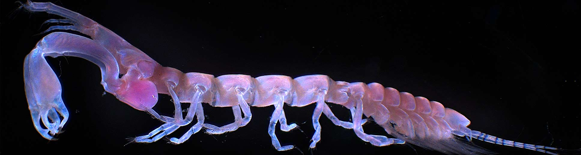 Image of am unknown, stunning marine crustacean
