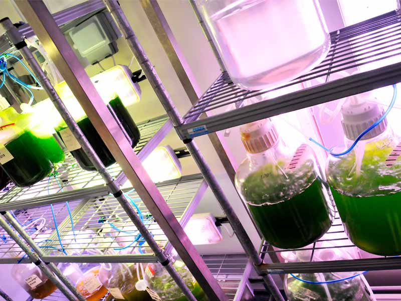 Light control improves the bulk production of microalgae