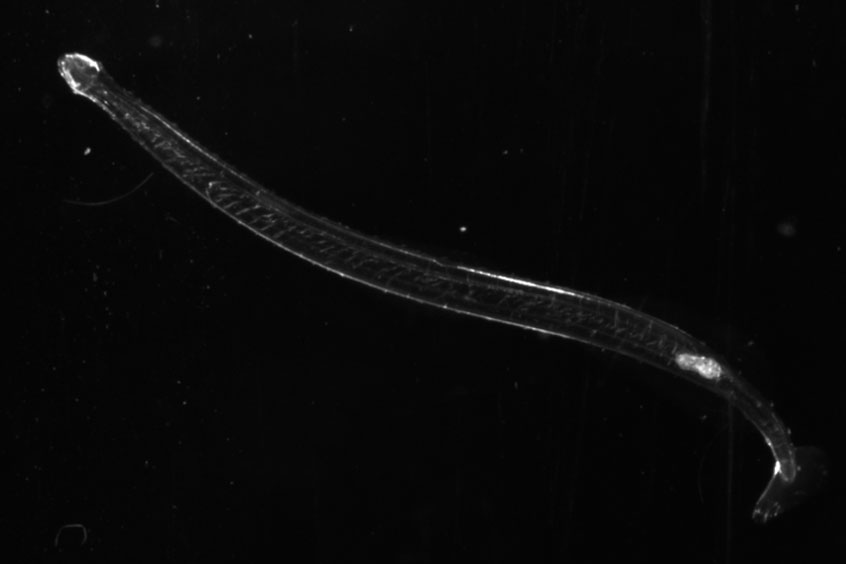 Arrow worms with planktonic animals like copepods in their guts were believed to be purely carnivorous