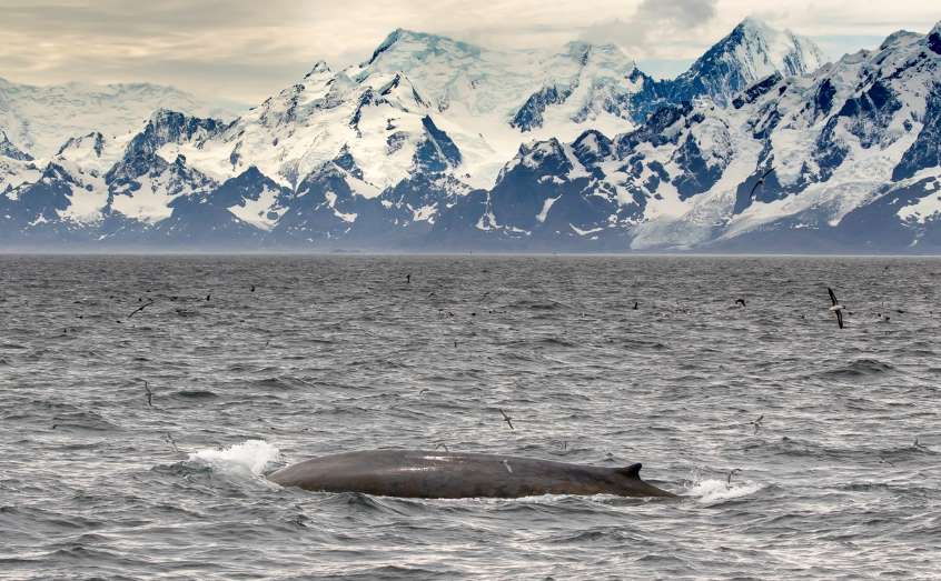 An Antarctic blue whale surfaces off South Georgia. Photo: Amy Kennedy