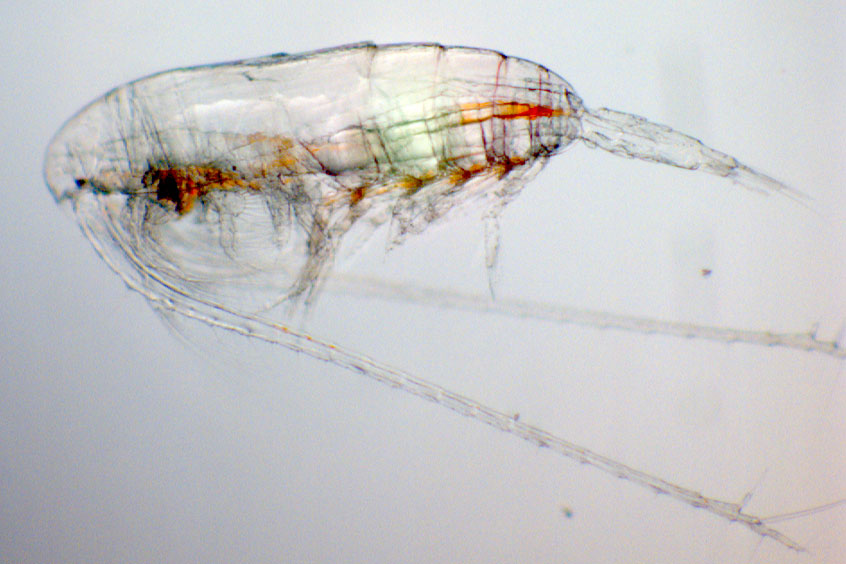 The copepod Calanus finmarchicus is a key zooplankter in the North Atlantic and was found to have an intact biological clock working even during the midnight sun in the high Arctic.