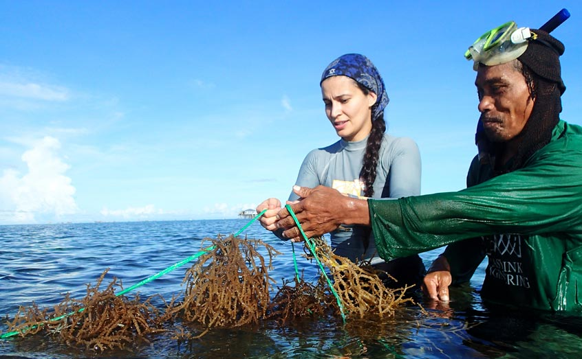 Dr Valeria Montalescot of SAMS helping to harvest seaweed at a farm in Bohol, Philippines as part of the GlobalSeaweedSTAR project. Photo: Maria Luhan