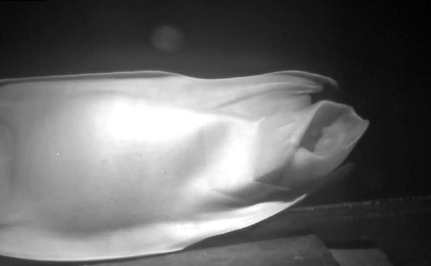 Researchers caught the very moment the flapper skate hatched
