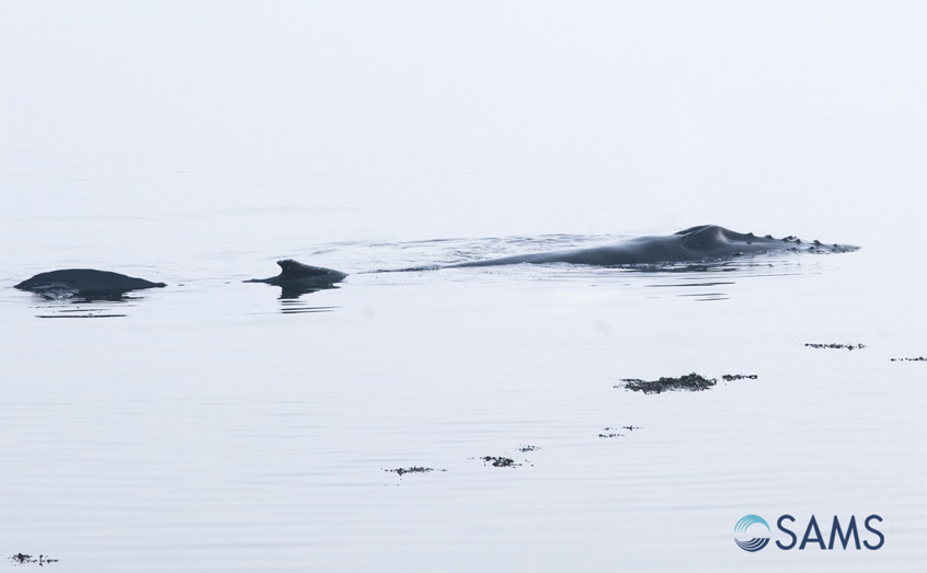 The young humpback whale was stuck on the shore near to SAMS during the morning's low tide