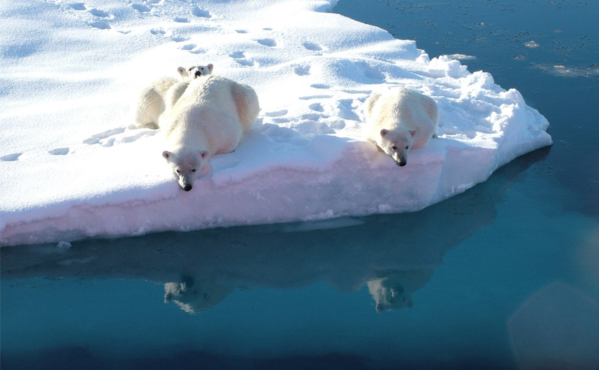 Polar bear diets rely heavily on algae that grows on the underside of diminishing sea ice