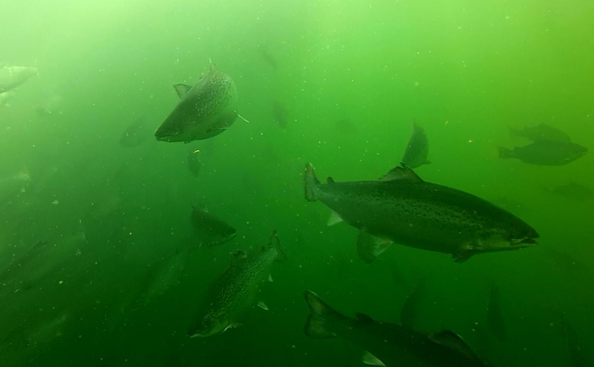 A inquiry into Scottish salmon farming has begun this year