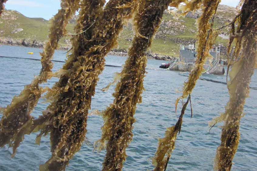 Scottish waters are ideal for seaweed cultivation